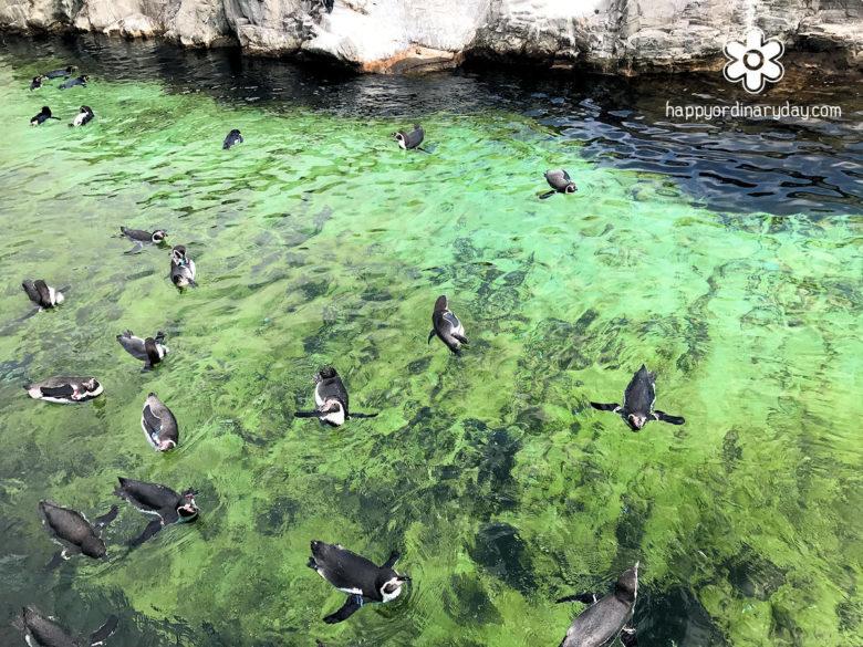 葛西臨海水族園 フンボルトペンギン