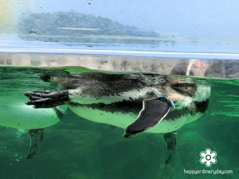 葛西臨海水族園 フンボルトペンギン3