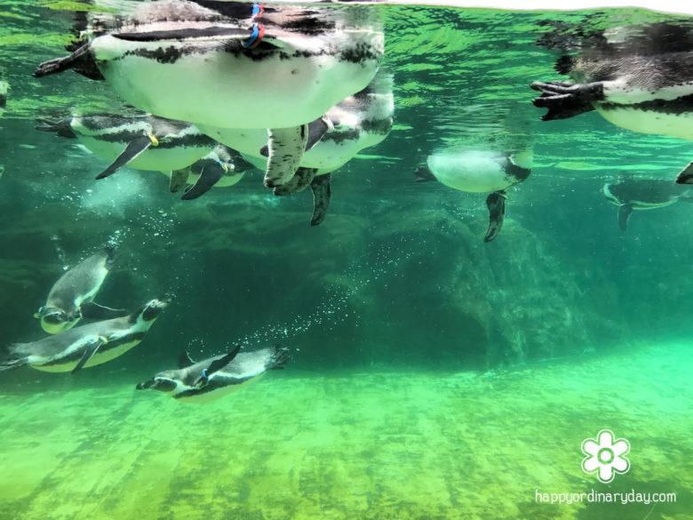 葛西臨海水族園 フンボルトペンギン4