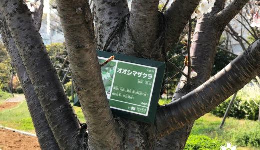 大島桜とチューリップでお花見を楽しむ週末